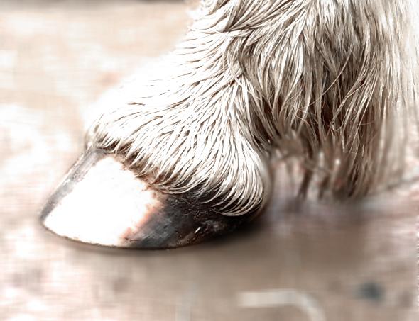 Anatomie, Funktion und Entstehung des Hufes   Artgerecht Pferd